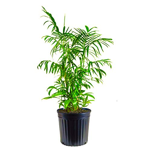 Palm Plant In Bedroom