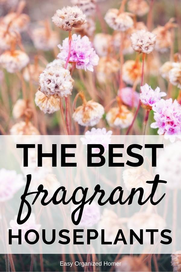 The 10 most fragrant flowers to have a home with amazing scent #plants #indoorplants #indoorgardening #indoorgarden #indoorgardenideas #houseplants #fragrantplants #fragrantflowers