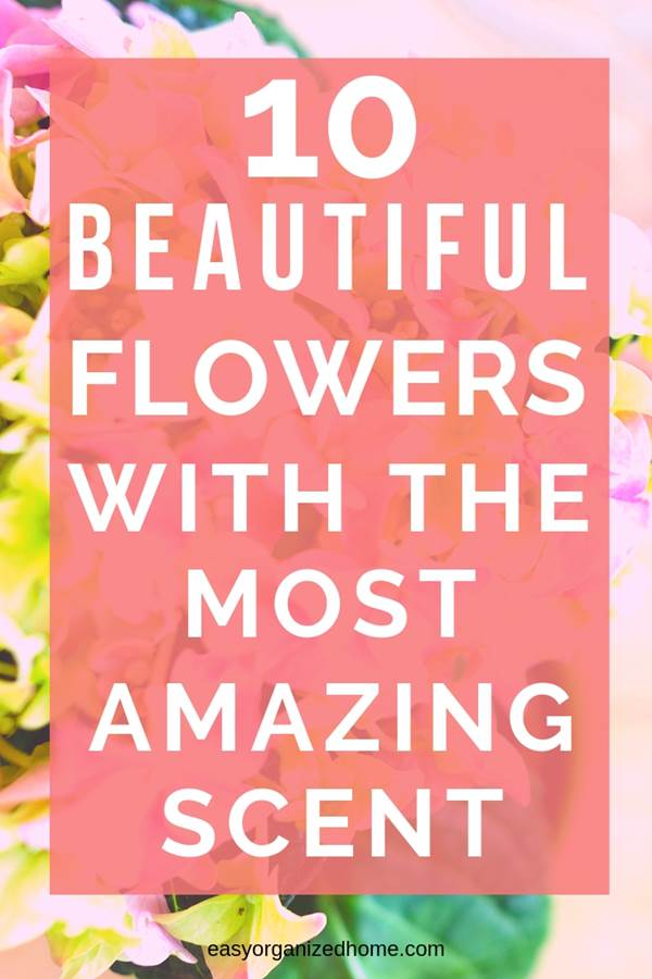 How to grow the best fragrant flowers, for indoor, outdoors, front yards and back yards. #plants #indoorplants #indoorgardening #indoorgarden #indoorgardenideas #houseplants #fragrantplants #fragrantflowers