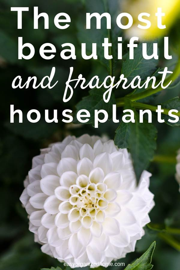 Top 10 most fragrant flowers to decorate and have a freshly smelling home #plants #indoorplants #indoorgardening #indoorgarden #indoorgardenideas #houseplants #fragrantplants #fragrantflowers