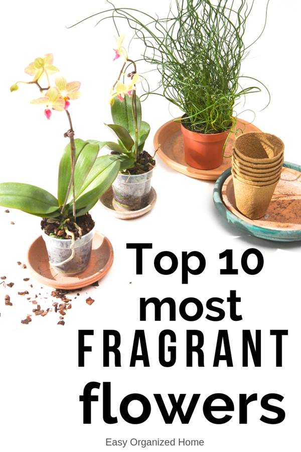 10 gorgeous flowers that smell heavenly and are great houseplants #plants #indoorplants #indoorgardening #indoorgarden #indoorgardenideas #houseplants #fragrantplants #fragrantflowers